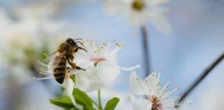Comment le lait d'amandes a tué 50 milliards d'abeilles