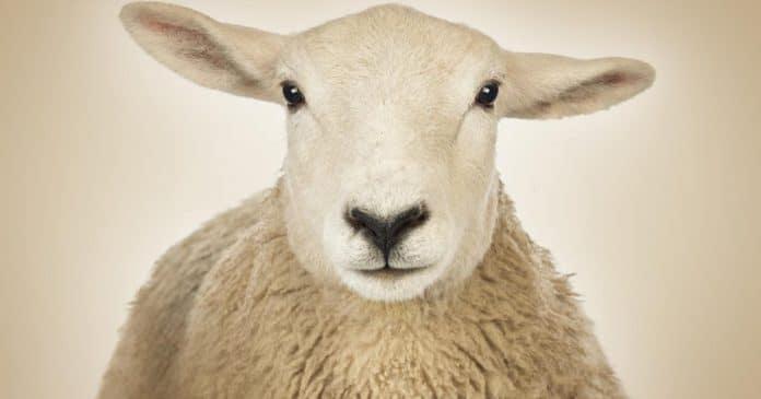 Des députés européens qualifient l'abattage Halal de « souffrance animale »