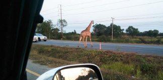 Insolite - Deux girafes fugitives se font la belle en Thaïlande ! - VIDEO