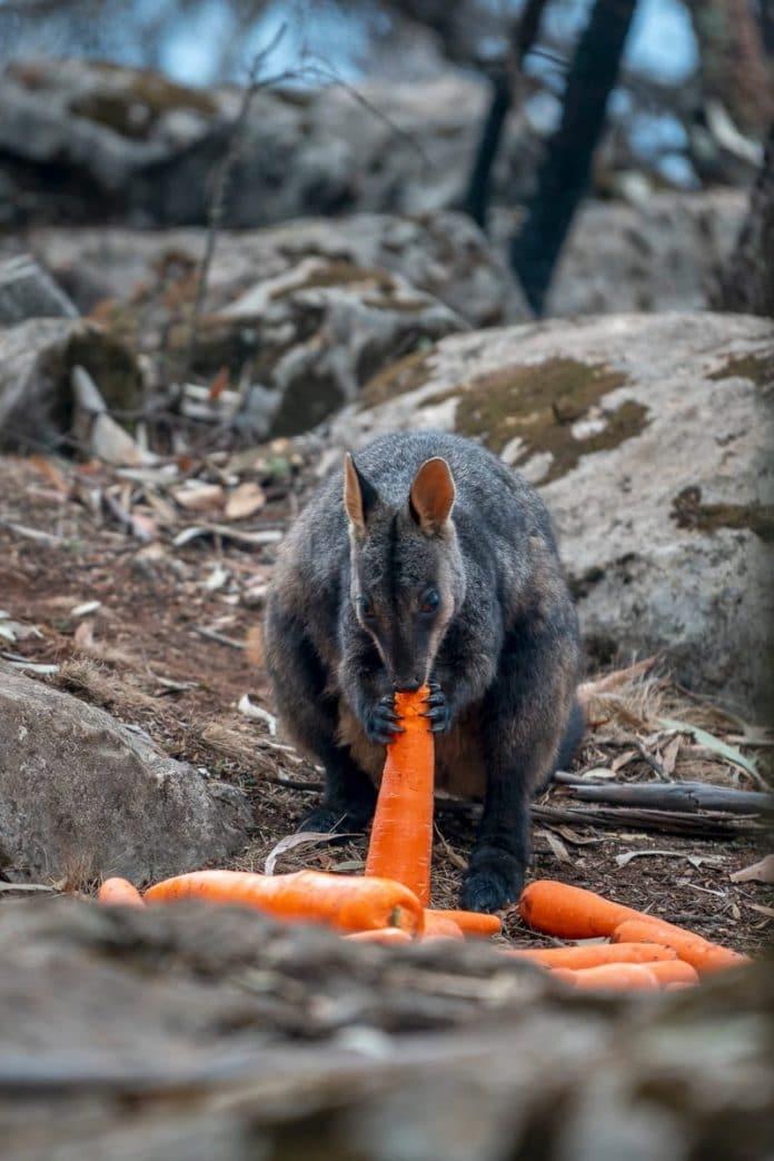 L'Australie largue 2 tonnes de carottes aux animaux affamés par les incendies de forêt