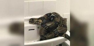 Royaume-Uni - Une femme se retrouve face à un énorme boa dans sa salle de bains