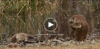 Un koala pleure son compagnon mort dans les incendies - VIDEO