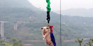 Un parc a thème chinois force un cochon à sauter à l'élastique - VIDEO