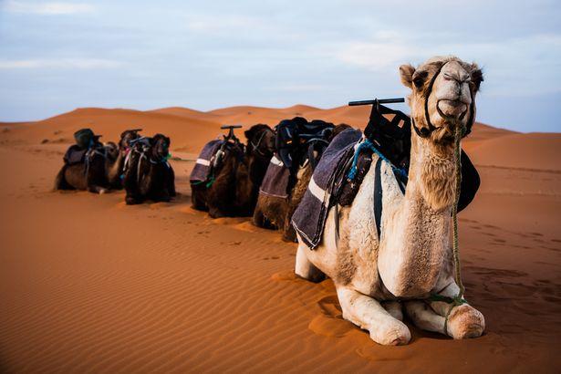 Une Américaine tombe d'un chameau, elle réclame 110.000 euros à TripAdvisor