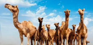 australie chameaux 10000 abattus sécheresse