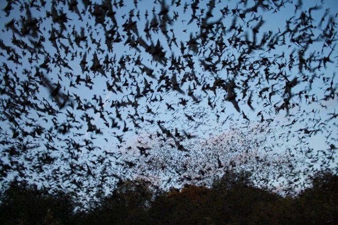 Des centaines de milliers de chauve-souris envahissent une ville australienne - VIDEO