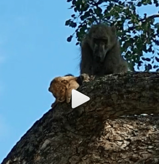 Insolite Un babouin et un lionceau rejouent une scène mythique du Roi Lion