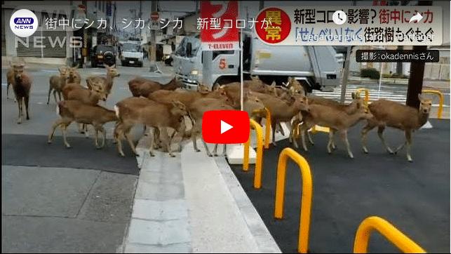 Coronavirus Des cerfs envahissent les centres-villes à la recherche de nourriture au Japon VIDEO