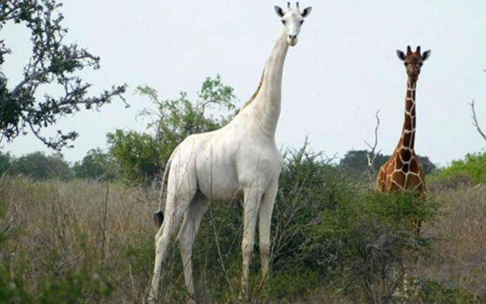 Kenya - l'unique girafe blanche femelle au monde tuée par des braconniers