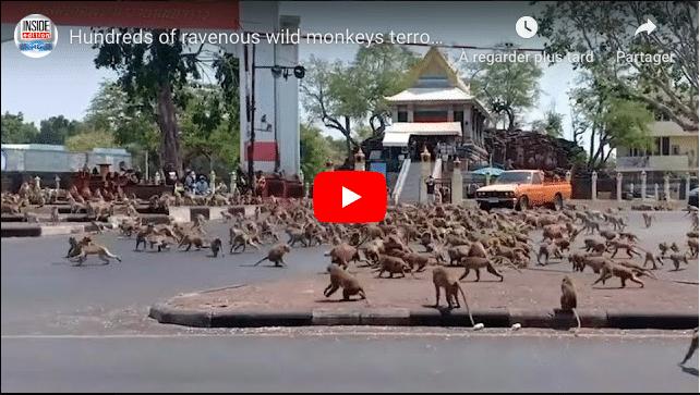 Thaïlande une bagarre de singes entre deux bandes rivales à cause d'une banane VIDEO