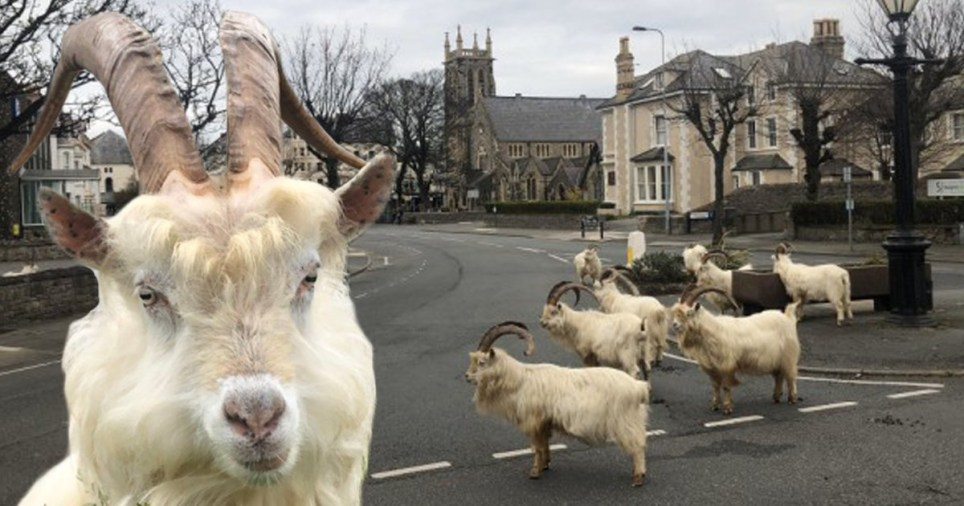 Royaume-Uni - Des chèvres sauvages prennent le contrôle d'une ville galloise pendant le confinement2