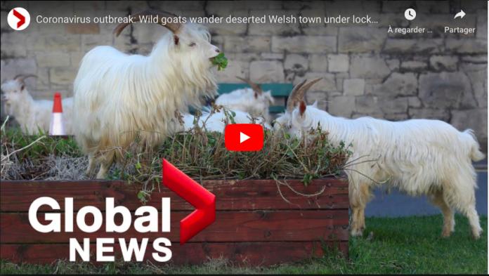 RoyaumeUni Des chèvres sauvages prennent le contrôle d'une ville galloise pendant le confinement