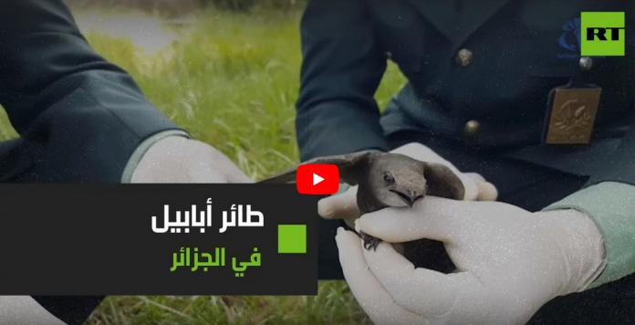 L'Ababil, un oiseau très rare et cité dans le Coran, retrouvé en Algérie - VIDÉO