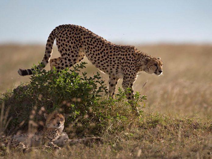 Le guépard saharien réapparaît dans un parc culturel Algérien après plus de 10 ans de disparition