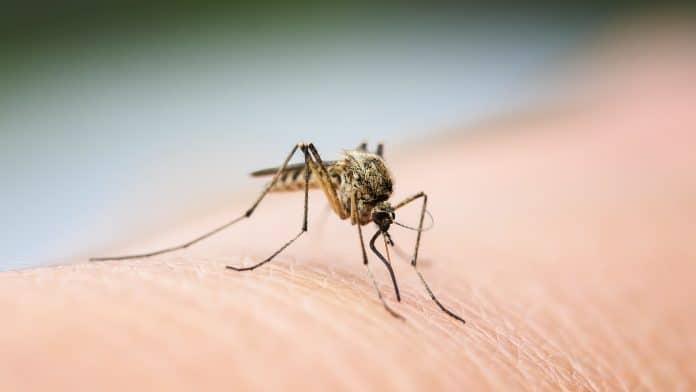 Comment un vaccin à base de salive de moustiques pourrait arrêter la prochaine épidémie