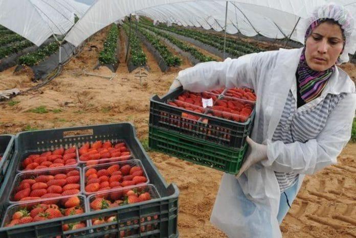 «Aidez-nous, nous sommes abandonnés ici» - des milliers de travailleurs saisonniers marocains bloqués en Espagne