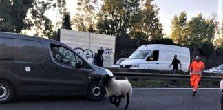 Seine-Saint-Denis : un mouton de l'Aïd s'échappe en plein milieu de l'autoroute A3