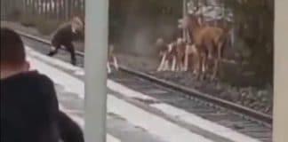 Oise - un cerf traqué par des chasseurs en plein milieu de la gare de Chantilly - VIDEO