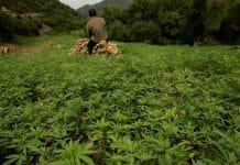 Le Maroc annonce la légalisation du cannabis la semaine prochaine