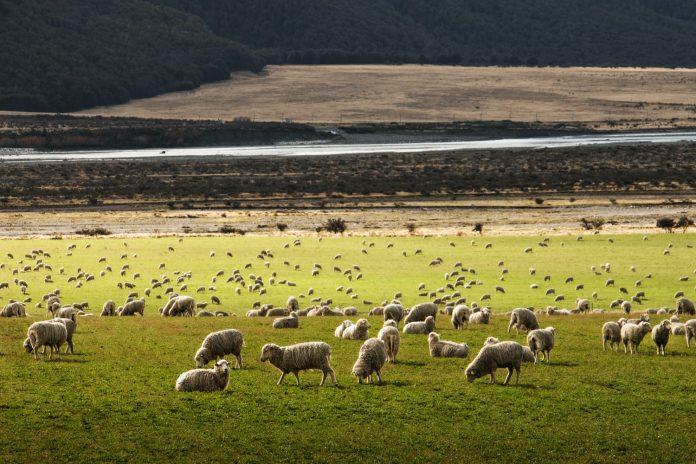 Aïd Al Adha 2021 - 4 conseils à lire avant d'acheter son mouton