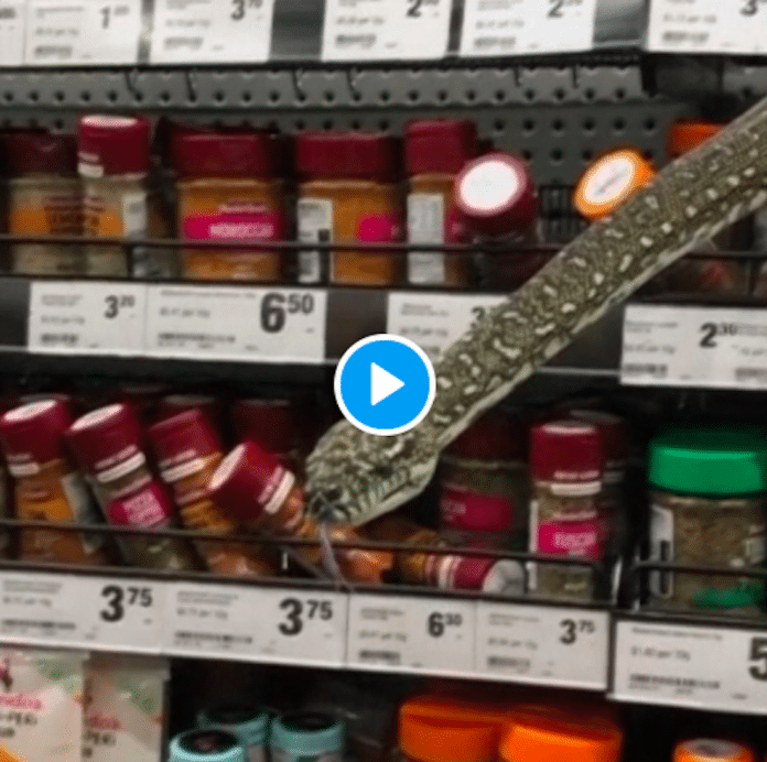Australie une femme se retrouve face à un serpent de 3 mètres dans un supermarché - VIDEO
