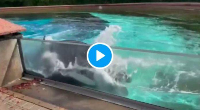 Canada Après 40 ans de captivité, la baleine Kiska tente de se suicider - VIDEO